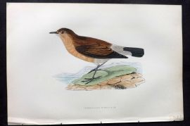 Morris 1897 Hand Col Bird Print. Isabelline Wheater